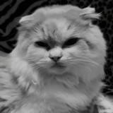 Chat Scottish Fold à poil long Méo