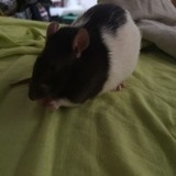 Rongeur Rat Sharly
