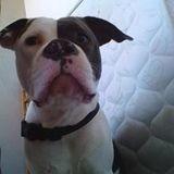 Chien American Staffordshire Terrier Shayna