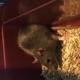 Rongeur Rat Sherry