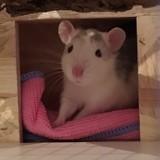 Rongeur Rat Shiro