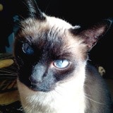 Chat Siamois Siamette