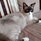 Chat Siamois Max