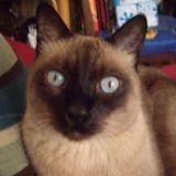 Chat Siamois Théo Décédé