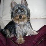 Chien Silky Terrier Joyce