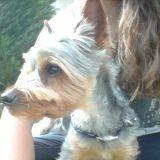 Chien Silky Terrier Harley