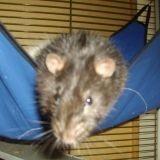 Rongeur Rat Silver