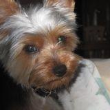 Chien Silky Terrier Skip