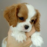 Chien Cavalier King Charles Spaniel Snoopy