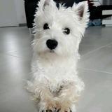 Chien West Highland White Terrier Snow