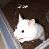 Rongeur Hamster Snow