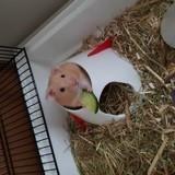 Rongeur Hamster Speedy
