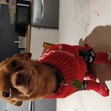 Chien Chihuahua Speedy