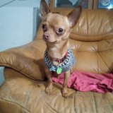 Chien Chihuahua Speedy Gonzales Alias Obi-Wan