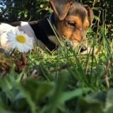 Chien Fox-Terrier Spit