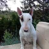 Chien Bull Terrier Splinter
