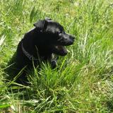 Chien Staffordshire Bull Terrier Shadow