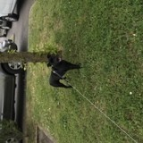 Chien Staffordshire Bull Terrier Nyla
