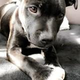 Chien Staffordshire Bull Terrier Phénix