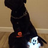 Chien Staffordshire Bull Terrier Moonlight