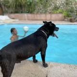 Chien Staffordshire Bull Terrier Ego