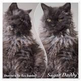 Chat Selkirk Rex Sugar Daddy