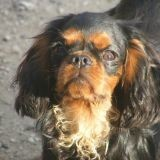 Chien King Charles Spaniel Summer
