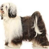 Chien Terrier tibétain Sweet Caroline De Etxegorri