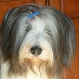Chien Bearded Collie T'Aimi