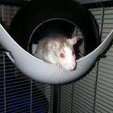 Rongeur Rat Talynka