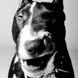 Chien Bull Terrier Tank