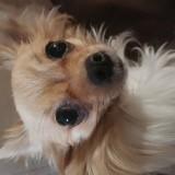 Chien Chihuahua Terka