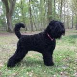 Chien Terrier noir russe Hloya