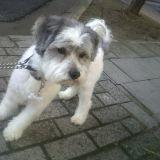 Chien Terrier tchèque Nuppy