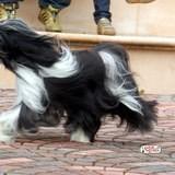 Chien Terrier tibétain Vyana