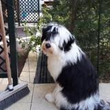 Chien Terrier tibétain Lasco