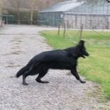 Chien Berger allemand Thelma