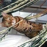 Chat Savannah Tiger