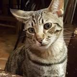 Chat Tigrou