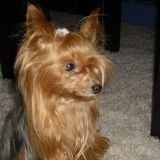 Chien Yorkshire Terrier Tina