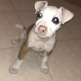 Chien American Staffordshire Terrier Tina