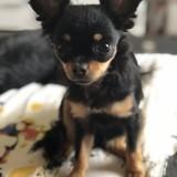 Chien Chihuahua Titine
