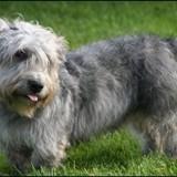 Chien Irish Glen of Imaal Terrier Tobby