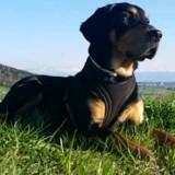 Chien Rottweiler Toby