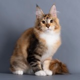 Chat Maine Coon Tosca Of Cadazz