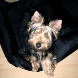Chien Silky Terrier Tosh