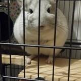 Rongeur Chinchilla Totoro