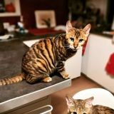 Chat Toyger Phoebe Et Persia