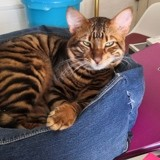 Chat Toyger Persee