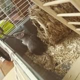 Rongeur Rat Trixie